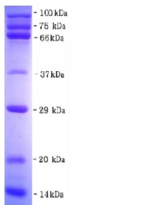 Marcador de Peso Molecular de Proteínas Não Corado